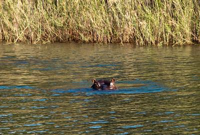 blyde-river-hippo-1