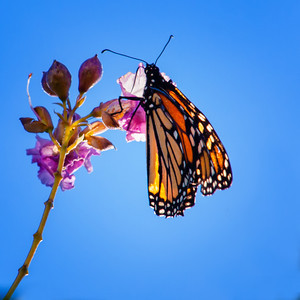 C_Kingman_Butterfly_102910_0007-Edit