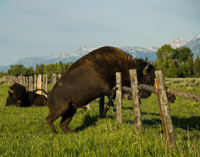 Bison Jumping Fence - Taken at Grand Teton National Park.