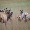 Bull Elk and His Cows