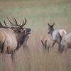 Bull Elk and His Cows