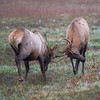 Young Bull Elk Sparring