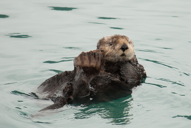 Sea Otter - Taken in Alaska while on a boat tour.