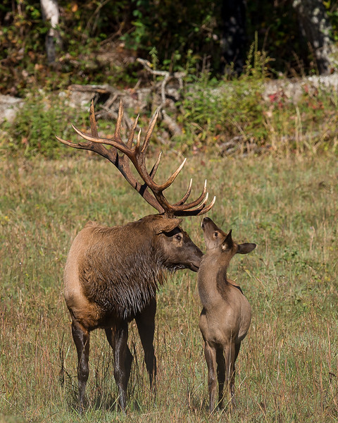 Bull Elk With Elk Calf