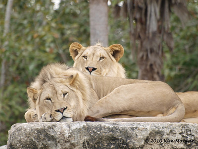 Two young male lions are hanging out watching the crowds watching them at Miami Metro Zoo.