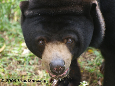 This bear at Miami Metro Zoo was a little hot on this sunny, south FL day.
