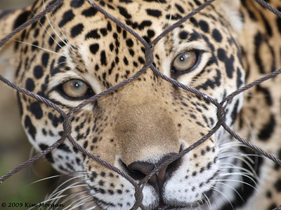 The Jaguar looks like he is asking to come out and play.