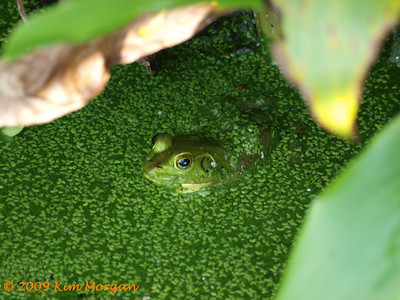 This frog is trying to blend in with the Duck Weed at Green Cay Wetlands.