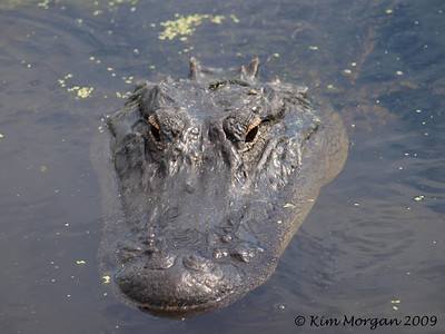 An alligator is relaxing in the water just off the boardwalk at Green Cay.
