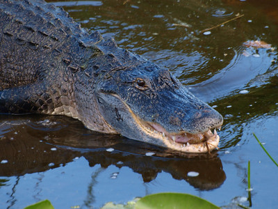 The other alligator took off, but this guy is still upset.