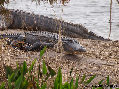 This alligator at Green Cay flashed a big smile to show us her pearly whites.