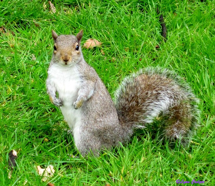 Tough squirrel in Hyde Park, London