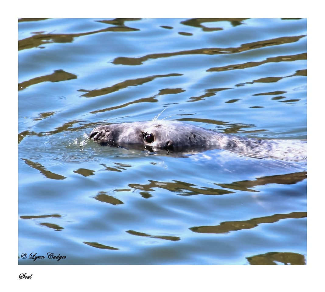 Seal in Stornoway Harbour