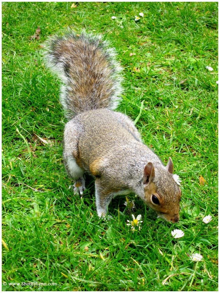 Squirrel sniffing daisies.