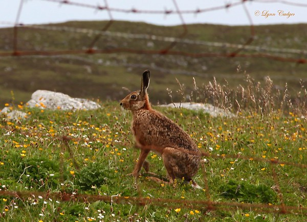 Brown Hare on Tiree