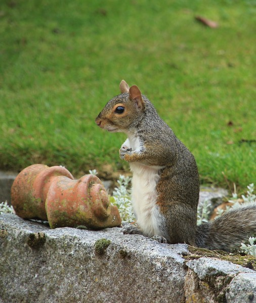 Mrs Grey Squirrel