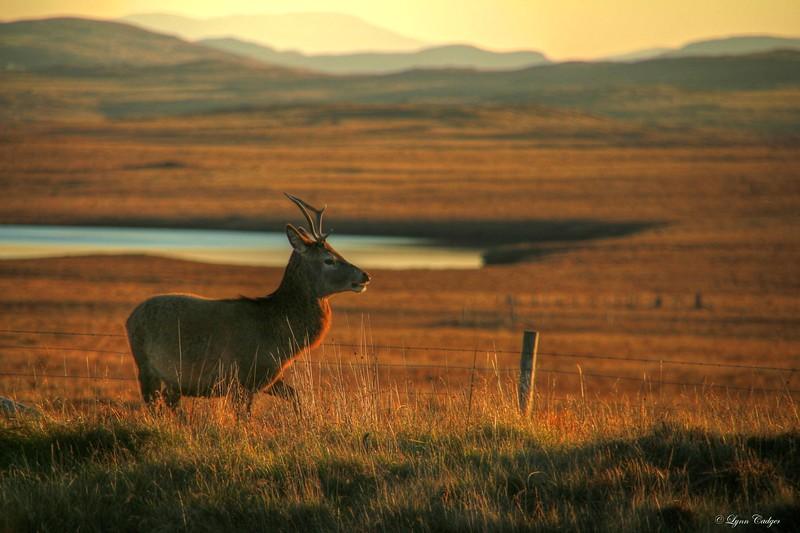 Young buck on the Pentland Moor