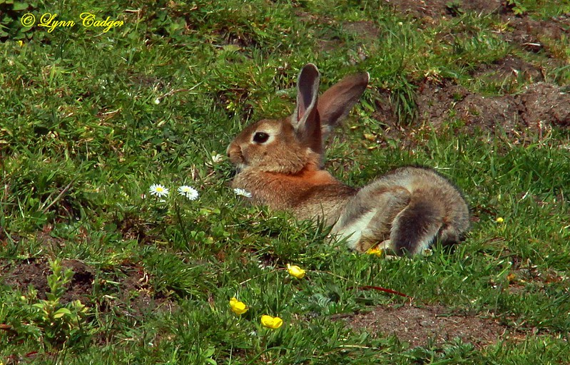 Rabbit on Coll