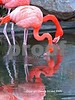 Flamingo Reflections 2 strand small 2005