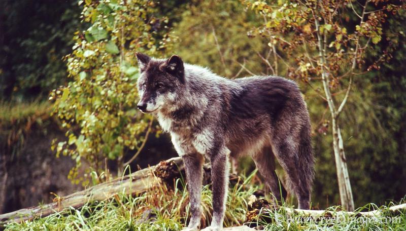 Wolf Sentry
