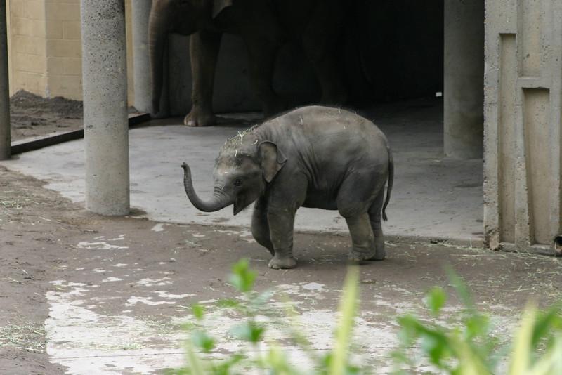 "Samudra ""Sam"" - Asian Elephant (9 months)"