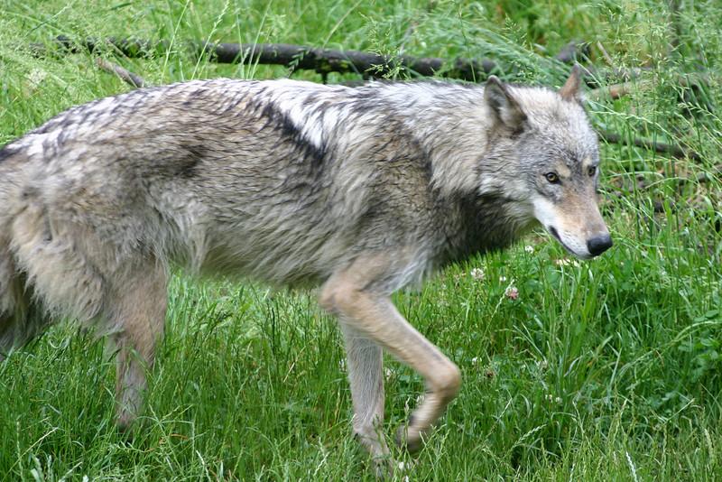 Yazhi - Grey Wolf