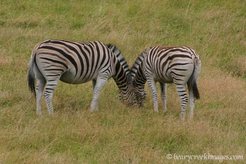 Two Ended Zebra