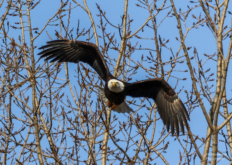 Eagles of Magee Marsh