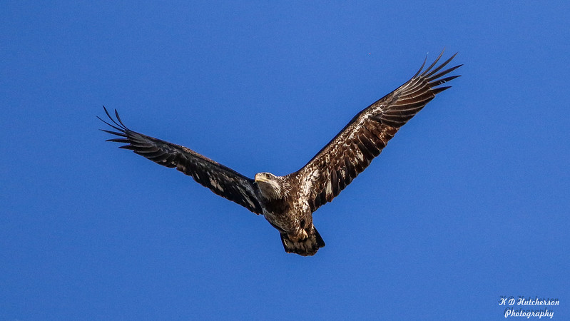 Juvenile Eagle of Magee Marsh