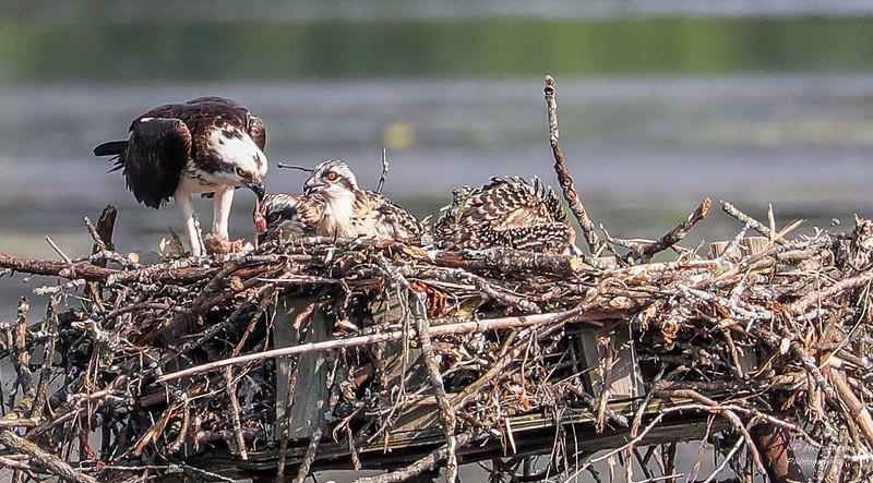 Kensington Osprey Chicks