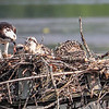 Kensington Osprey Chicks