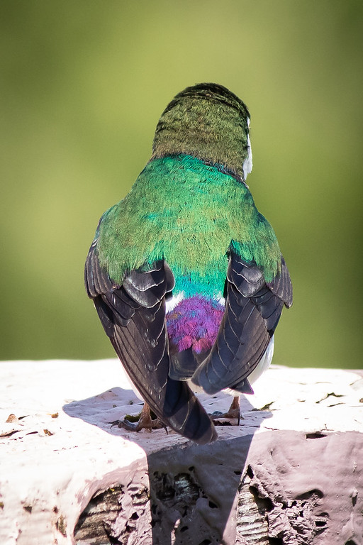 IMAGE: https://photos.smugmug.com/Animals/Wild-Birds/Other-Wild-Birds/i-gzmvM6t/0/ce3c4314/XL/IMG_5481-1-XL.jpg