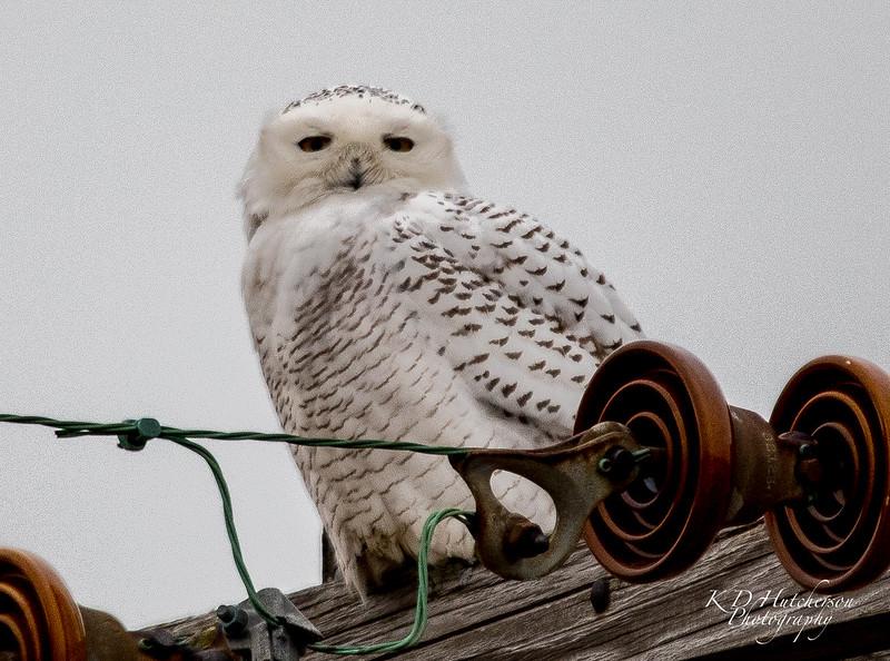 Snowy Owl - Fish Point