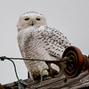 Snowy Owl - Fish Point