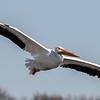 Iowa Pelican