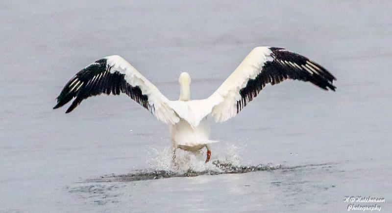 Pelican at Lock and dam 13 Fulton, IL