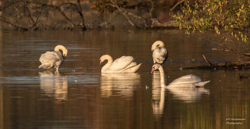 Swans in the morning light