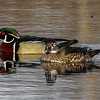 Male & Female Wood Ducks