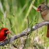 Male & Female Cardinals