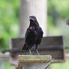 Crow on diving board