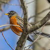 Robin - In winter