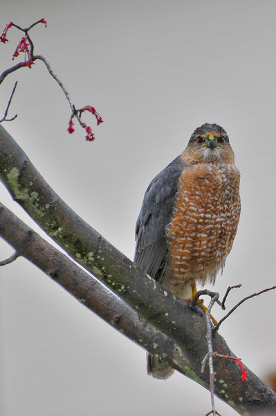 """Look who showed up in a backyard tree today near our bird feeders, looking for """"LUNCH!"""" Shot with Nikon D300 & 70-300VR through double pane glass window."""