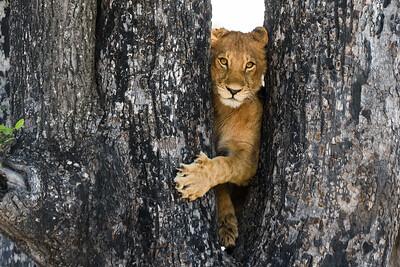 Lion Cub | Sandibe, Botswana