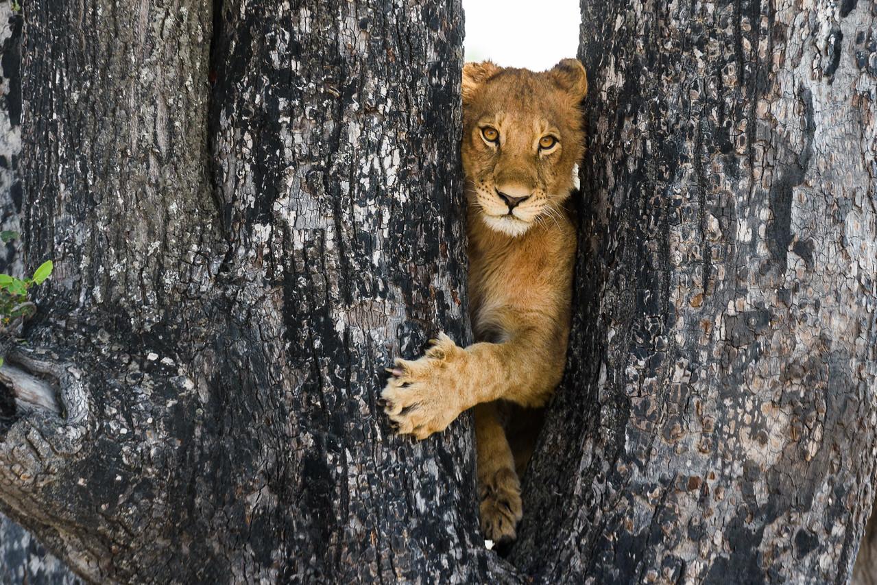 Lion Cub   Sandibe, Botswana