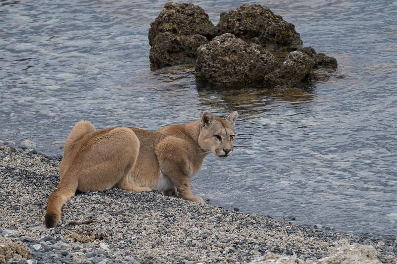 Puma | Torres del Paine, Chile