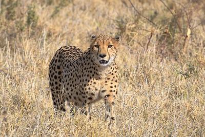 Cheetah | Botswana
