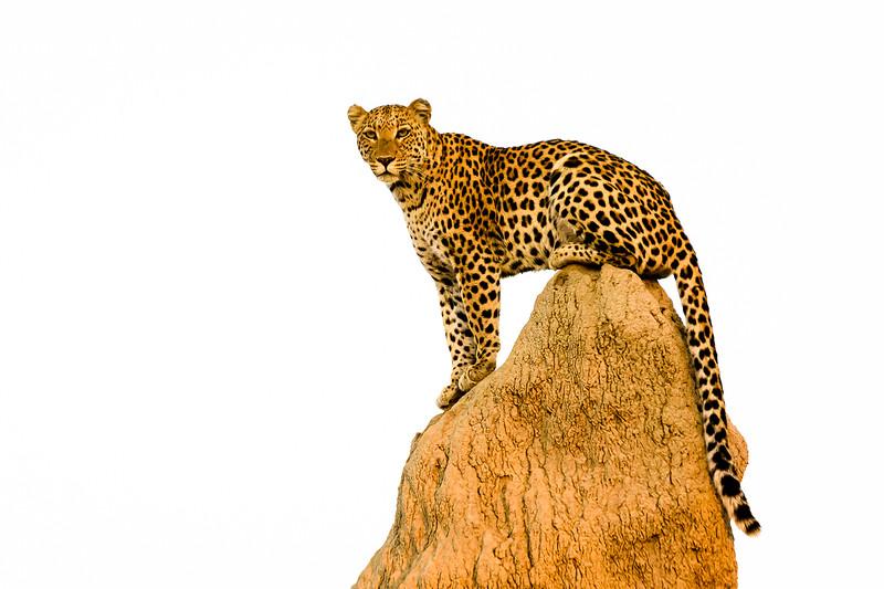 Leopard on termite mound   Botswana