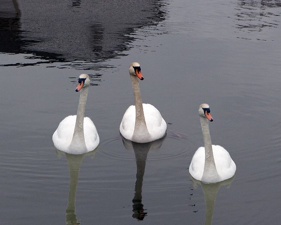 One Swan cloned into three, look real close.