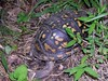 The turtle crawls off into the understory as fast as it can -- which isn't very fast. <br>8-19-04