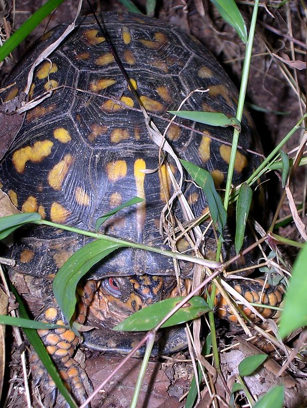 Oh, what's this at the edge of the path? An Eastern Box Turtle (<i>Terrapene carolina</i>)! <br>8-19-04